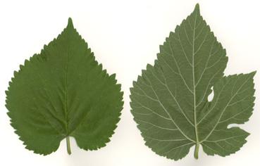 white mulberry leaf-greece